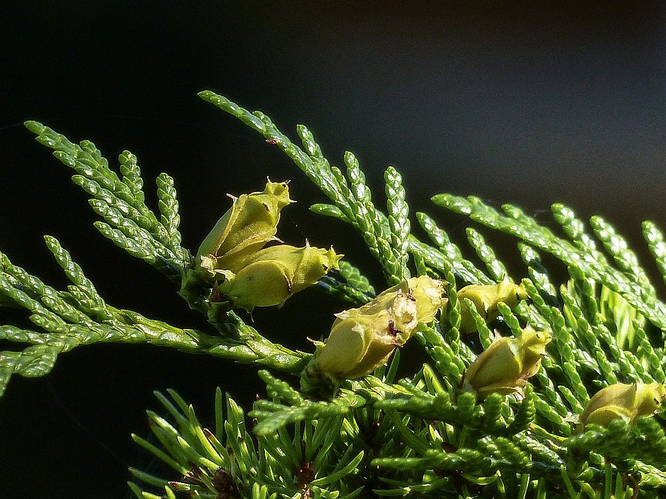 Ceder Virginia of Juniperus virginiana etherische olie bij aderklachten zoals aambeien en spataderen. Ceder Virginia of Rode Ceder is een Jeneverbes en helpt bij eczeem en zweren. Juniperus viginiana heilzaam bij spierpijn, haaruitval en vermoeidheid.